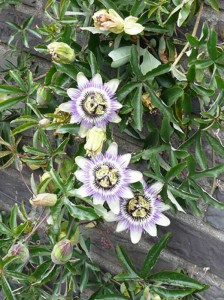 Passiflora caerulea / Blaue Passionsblume