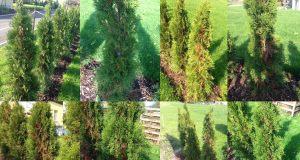 Thuja / Lebensbäume werden trotzt Wässerung braun – mögliche Ursachen und Hilfe?