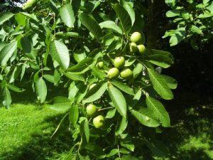 Eigene Nüsse im Garten? Neue Sorten vom Hasel-Strauch und Walnuss-Laubbaum im Fokus