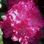 Rhododendron – eine tolle Farbenpracht für den heimischen Garten