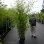 Der Bambus Phyllostachys bissetii eignet sich gut als Solitärpflanze