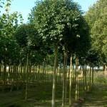 Tiefwurzelnder Baum für Terrassenbereich gesucht – Tipps und Empfehlungen?