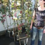 Ein Spalier-Apfelbaum bietet guten Sichtschutz und reiche Ernte