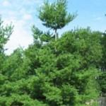 Pinus Strobus / Weymouths Kiefer ist eine gute Ergänzung zur Mädchenkiefer