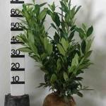 Kirschlorbeer Prunus Genolia – Ideale Heckenpflanze für schmale Hecken
