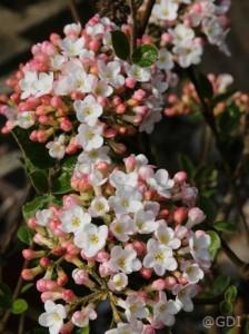 Viburnum burkwoodii 'Anne Russell' / Wintergrüner Duft-Schneeball - frosthart und verträgt auch Rückschnitte