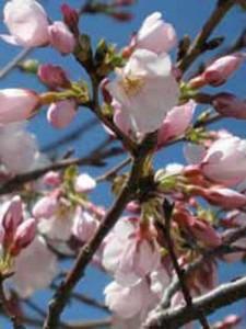 Blüten der Weißen Zierkirsche - Spezielle Pflanzerde oder direkt Dünger ist beim Einpflanzen nicht notwendig