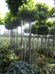 Prunus laurocerasus 'Mano' Hochstamm / Kirschlorbeer 'Mano eignet sich gut als Bepflanzung für die Auffahrt