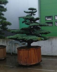 Ein Garten-Bonsai ist ein optisches Highlight in jedem Stadtgarten