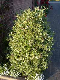 Der Ilex Pyramidalis Aurea Marginata behält auch an schattigen Standorten seine Gelbfärbung