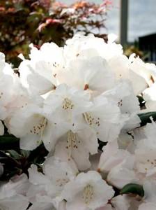Niedrig wachsende Rhododendron-Sorte in weiß bzw. blau für Standort am Gardasee gesucht