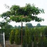 Seidenbaum Albizia Ombrella - sehr schönes Laubgehölz, benötigt aber Winterschutz