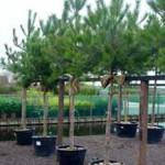 Schöner Baum für Pflanzkübel gesucht – Stammhöhe 70-80cm