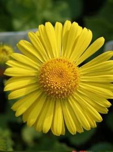 Blütenstauden als Beipflanzung in Pflanzenkübeln in Gelb- und Rottönen – Tipps?