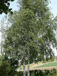 Mit der richtigen Pflege wird aus den Birkenkeimlingen so eine wunderschöne  Betula pendula / Weiß-Birke