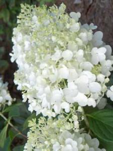 Weiß blühende Ziersträucher mit einer Größe von ca. 150cm gesucht – Tipps & Empfehlungen