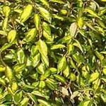 Eleagnus Maculata / Ölweide Maculata ist ein schöner Terrassenbaum