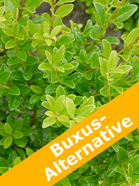 Buxus Alternative Ilex Impala®