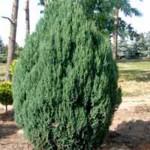 Juniperus chinensis 'Stricta' / Chinesischer Wacholder - tolles Solitärelement, aber als Heckenpflanze nicht ideal