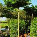 Morus alba 'Macrophylla' Dachspalier/Dachform / Weißer Maulbeerbaum
