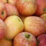 Für eine reichte Ernte sollte auch bei Apfelbäumen ein Auslichtungs-Schnitt vorgenommen werden
