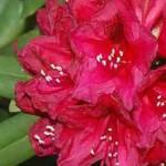 Rhododendron Hybride 'Lord Roberts' / Rhododendron 'Lord Roberts' wird 400cm hoch und breit und eignet sich gut als Sichtschutz