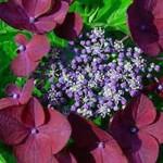 Hydrangea macrophylla 'Rotschwanz' / Garten-Hortensie 'Rotschwanz' mag eine absonnigen Standort wo es durchaus auch etwas Schatten geben sollte