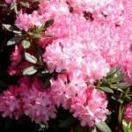 Rhododendron yakushimanum 'Anilin' / Rhododendron 'Anilin' - immergrün und eher kompakter Wuchs