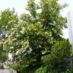 Die  Robinia pseudoacacia / Robinie / Scheinakazie / Locust ist im Allgmeinen rel. schnittverträglich