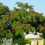 Am passenden Standort und mit etwas Pflege ist der Albizia julibrissin / Seidenbaum / Schlafbaum ein tolles Laubgehölz