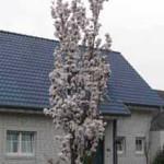 Prunus serrulata 'Amanogawa' / Säulen-Zierkirsche 'Amanogawa' - ideal für moderne Gärten