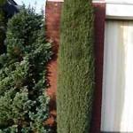 Juniperus communis - die Früchte sind für den Verzehr geeignet
