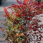 Der Himmelsbambus Nandina Domestica ist ein tolles Ziergehölz mit beeindruckender Belaubung und farbenprächtigen Beeren
