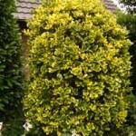 Heckenpflanzen - wie hier die Stechpalme Golden King - werden häufig mit einem Wurzelballen geliefert