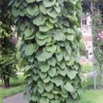 I Amerikanische Pfeifenwinde - sehr außergewöhnliche Kletterpflanze und gut für Zäune geeignet