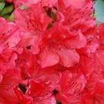 Japanische Azalee 'Geisha Red' bildet eine tolle, rot leuchtende Blüte aus und ist gut für den Balkon geeignet