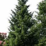 Picea omorika / Omorika-Fichte / Serbische Fichte eignet sich gut als Heckenpflanze