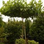 Eine Dachplatane - ideal für den natürlichen Sonnenschutz