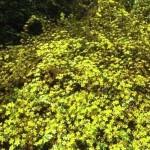 Kerria japonica / Ranunkelstrauch bildet Ausläufer