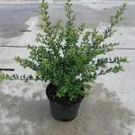 Ilex crenata 'Convexa' / Löffel-Ilex - eine ideale Alternative zum Buchsbaum