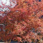Amelanchier lamarckii / Kupfer-Felsenbirne bietet eine tolle Herbstfärbung