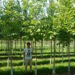 Walnuss-Baum mit nicht ganz so großer Krone gesucht – Tipps & Empfehlungen?
