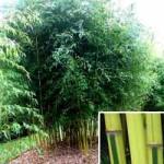 Bambus Phyllostachys aureosulcata 'Spectabilis' - schnellwachsend und gut für windige Stellen geeignet