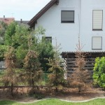 Alternativen für Serbische Fichten an trockenem Standort gesucht