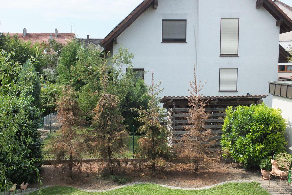 alternativen f r serbische fichten an trockenem standort gesucht fragen bilder pflanz und. Black Bedroom Furniture Sets. Home Design Ideas