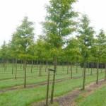 Gleditsia triacanthos 'Skyline' / Säulen-Gleditschie - muss sich erst am neuen Standort akklimatisieren