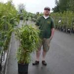 Bambus Pseudosasa japonica - ideal für einen Sichtschutz und ziemlich anspruchslos
