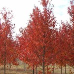 Acer Freemanii Jeffersred / Feuerahorn 'Jeffersred' - ist recht kalktolerant und hat eine tolle, rote Herbstfärbung