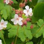 Geranium macrorrhizum 'Spessart' / Felsen-Storchschnabel 'Spessart'