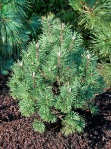 Die Pinus mugo 'Columbo' / Kegel-Bergkiefer